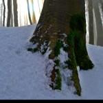 muschio alla base di un aòlbero semicoperto dalla neve