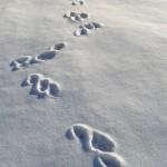 tracce di lepre sul candido manto bianco