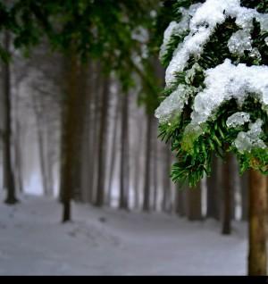 Voglia di neve Pineta imbiancata
